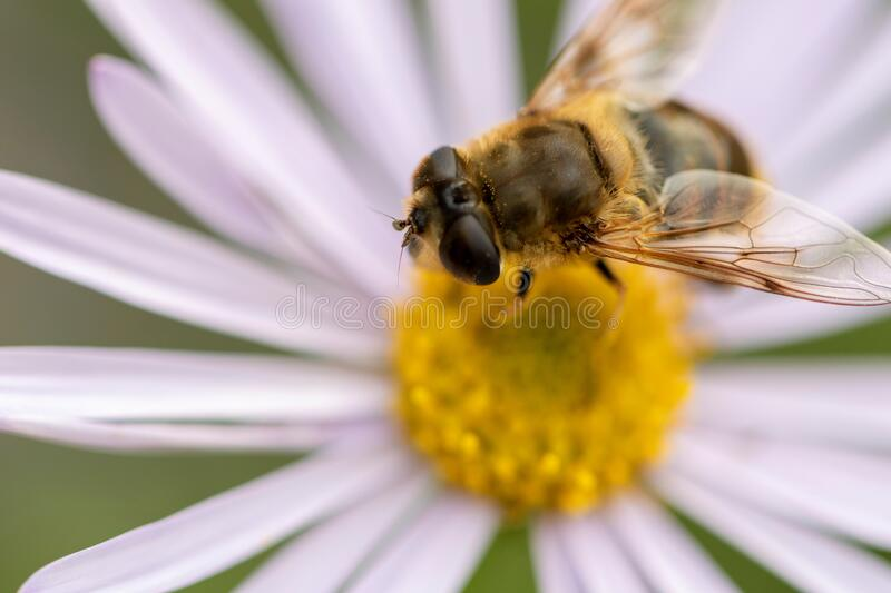 A close up macro portrait of a gliding fly on a white daisy& x27;s yellow core. There& x27;s pollen on the insect royalty free stock photos
