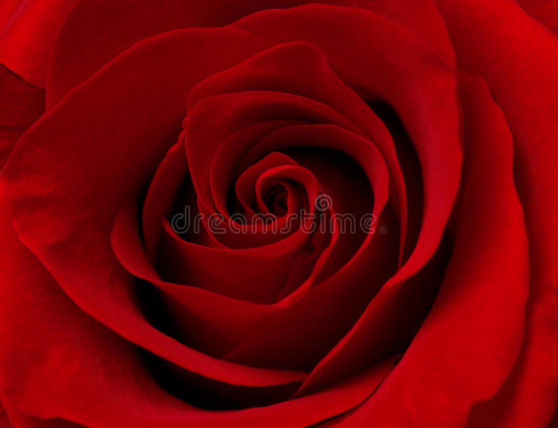 Download Close Up Macro Of Red Rose Stock Photos - Image: 23906943