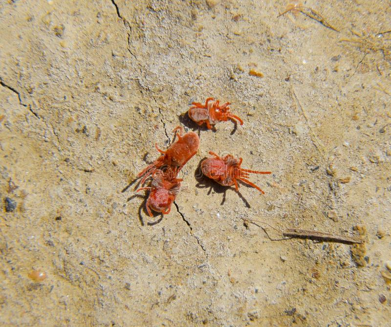 Arthropod mites on the ground. Close up macro Red velvet mite or stock images