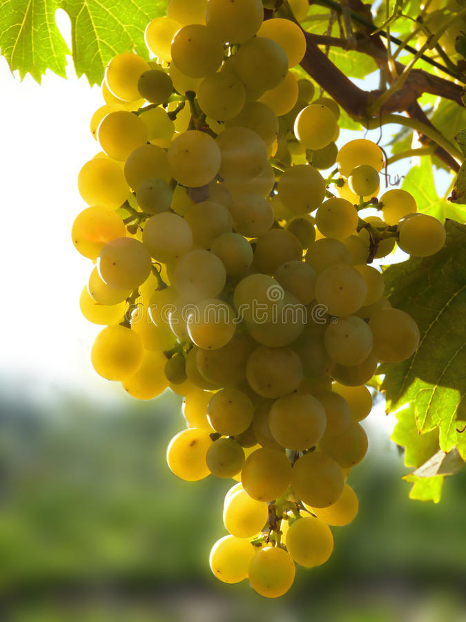 Close Up of Ripe Golden Grape Cluster on Vine. Close up macro of ripe golden grape cluster hanging on vine plant in vineyard royalty free stock photography