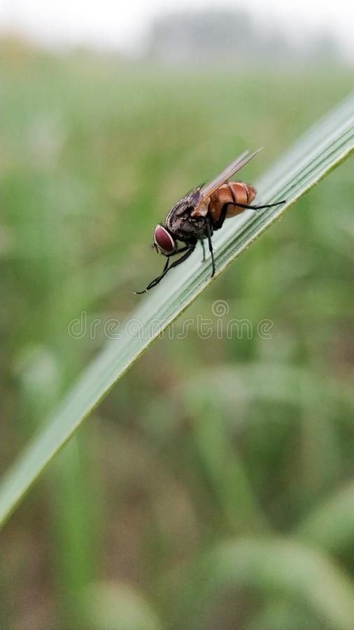 Close-up Macro shoot of house fly. royalty free stock image