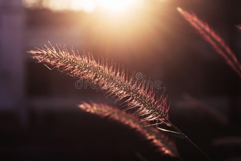 Close up macro shot of grass flower during sun set time. Selective focus. royalty free stock photo