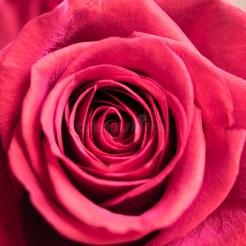 Close up macro shot of a red rose royalty free stock photo