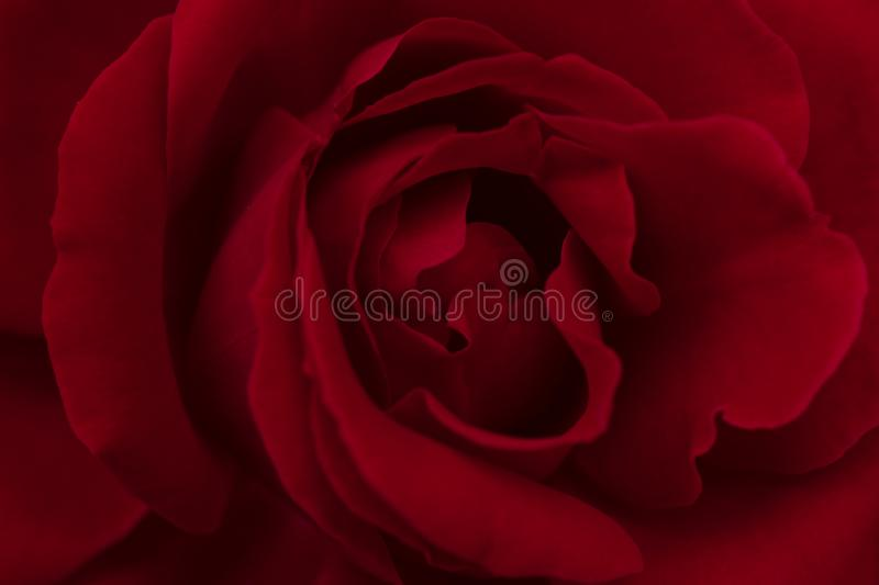 Vibrant Red Rose Close Up Macro - Abstract. stock images