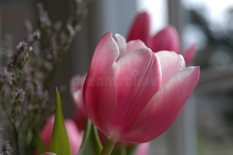 Close up macro shot of tulip stock photo