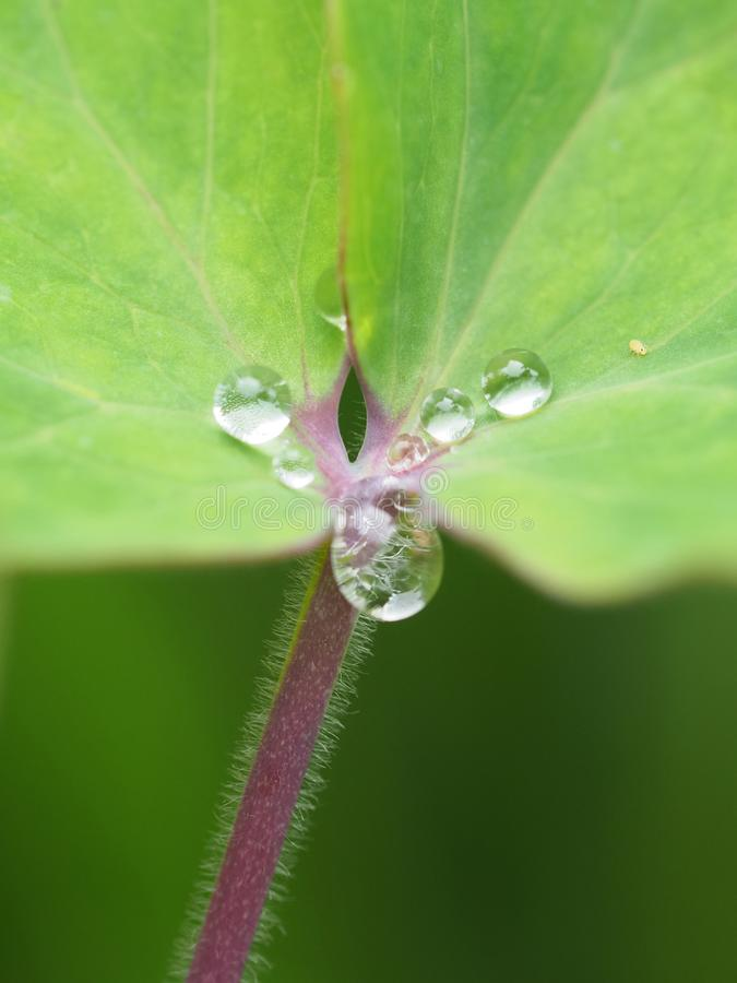 Macro shot of water drops on a green leaf with a red stem. royalty free stock photography