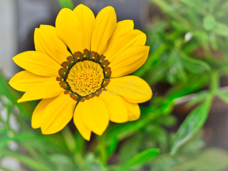 Yellow inde flower in full glory, summertime royalty free stock photos