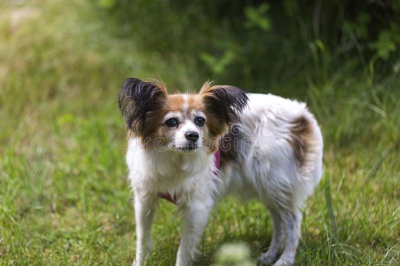 Close up macro view of cute white brown dog on green grass background royalty free stock photography