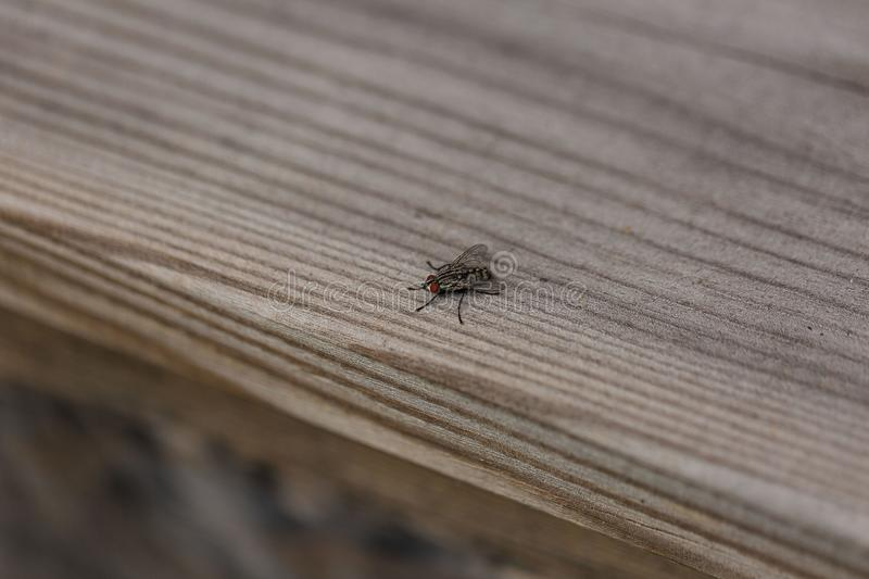 Close up macro view of fly insect isolated on wooden background. Nature backgrounds royalty free stock photos