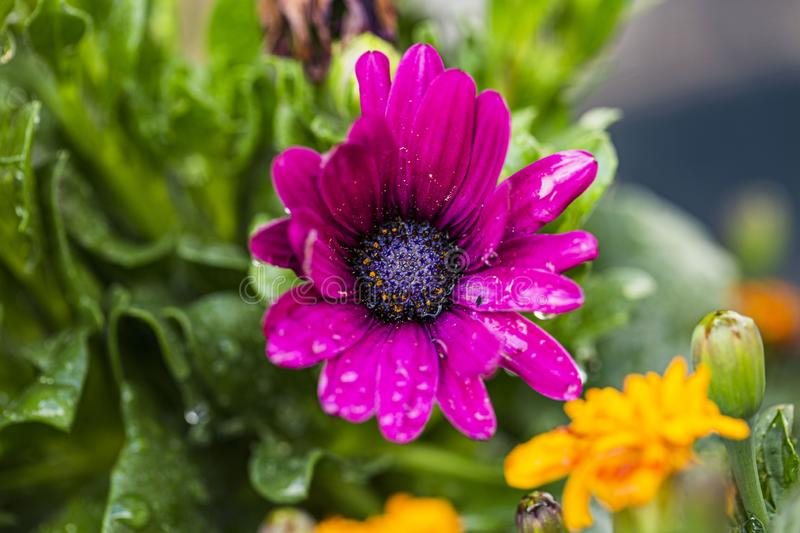 Close up macro view of purple flower isolated. Beautiful nature backgrounds royalty free stock photos