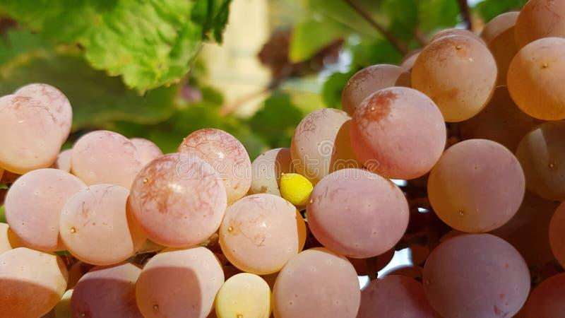 Close up maduro suculento bonito das uvas no fundo borrado verde Grupo enorme de bagas rosados redondas com o close up da superfí imagens de stock royalty free