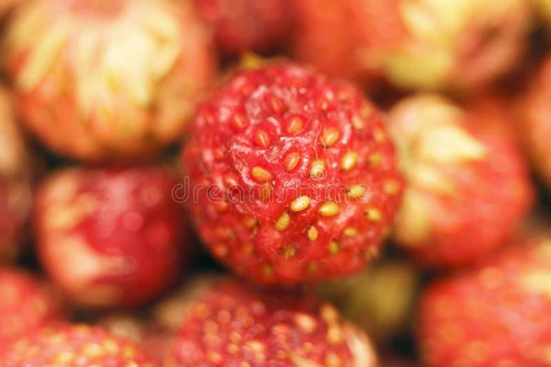 Close up maduro vermelho do morango silvestre Vista superior no macro fotografia de stock royalty free