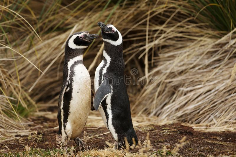 Close up of Magellanic penguins in a courtship display stock image