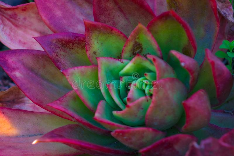 Close-up of a magnificent bright and vibrant Echeveria Red Glow succulent cactus plant. In a desert garden stock photos