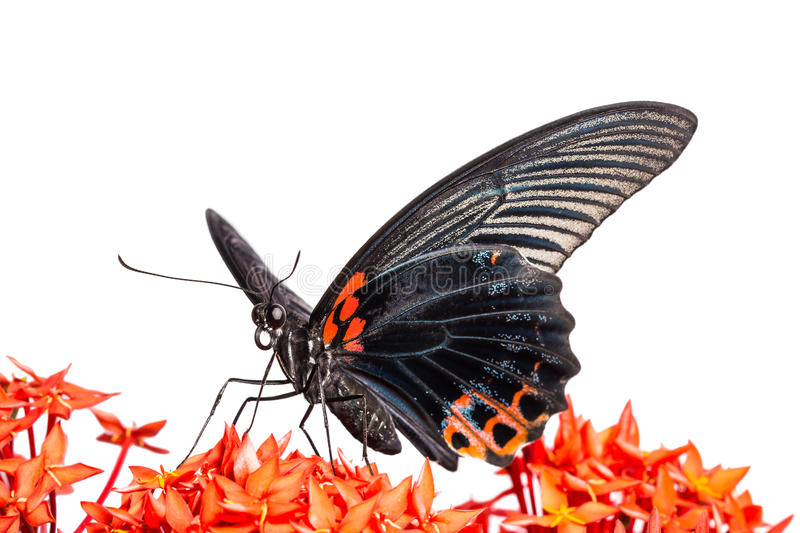 Great Mormon (Papilio memnon agenor) butterfly. Close up of mail great mormon butterfly perching on red ixora flower, front view stock images