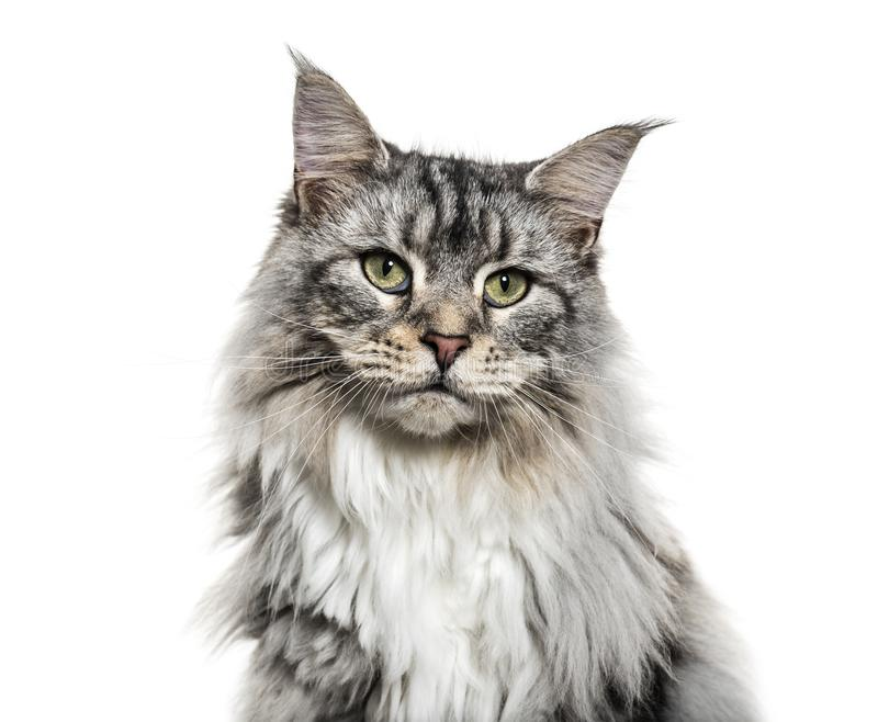 Close-up on a main coon cat face, isolated. On white stock image