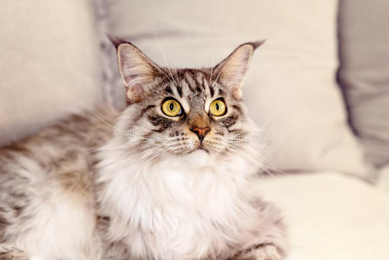 Close Up Of Main Coon Female Cat. Close up of beautiful Main Coon fully grown female cat, looking upwards, light background royalty free stock photos