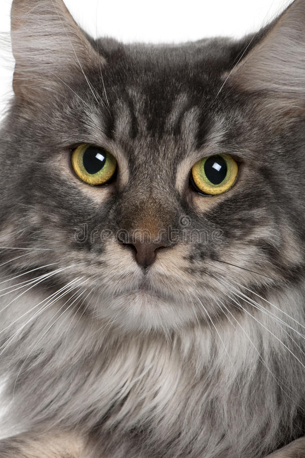 Download Close Up Of A Maine Coon (2 Years Old) Stock Photo - Image of studio, close: 13666732