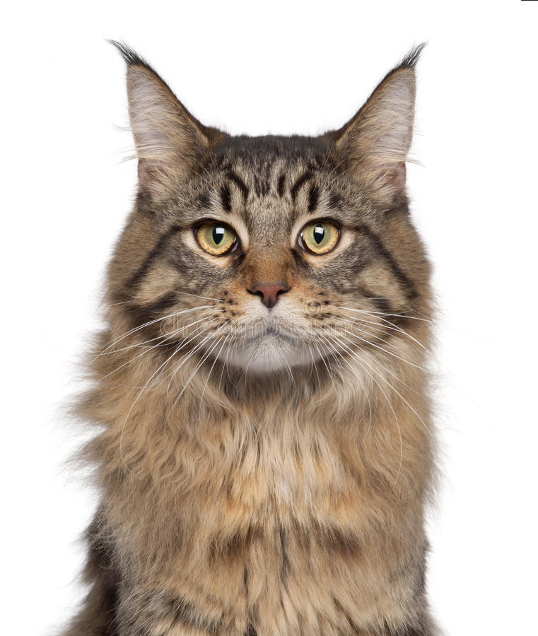 Close-up of Maine Coon cat, 7 months old royalty free stock photography