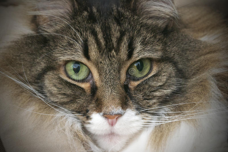 Close-up of Maine Coon Cat stock images