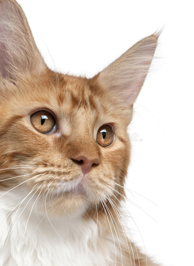 Close-up of Maine Coon kitten, 7 months old royalty free stock images