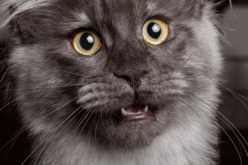 Close-up Maine Coon with opened mouth stock image