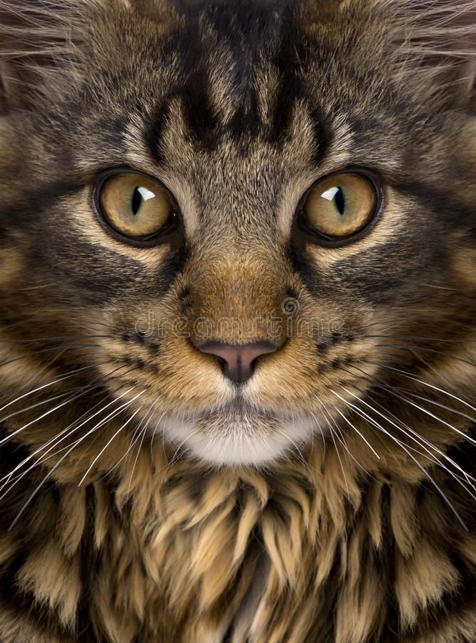 Close-up of Maine Coon`s face with whiskers. 7 months old stock photography