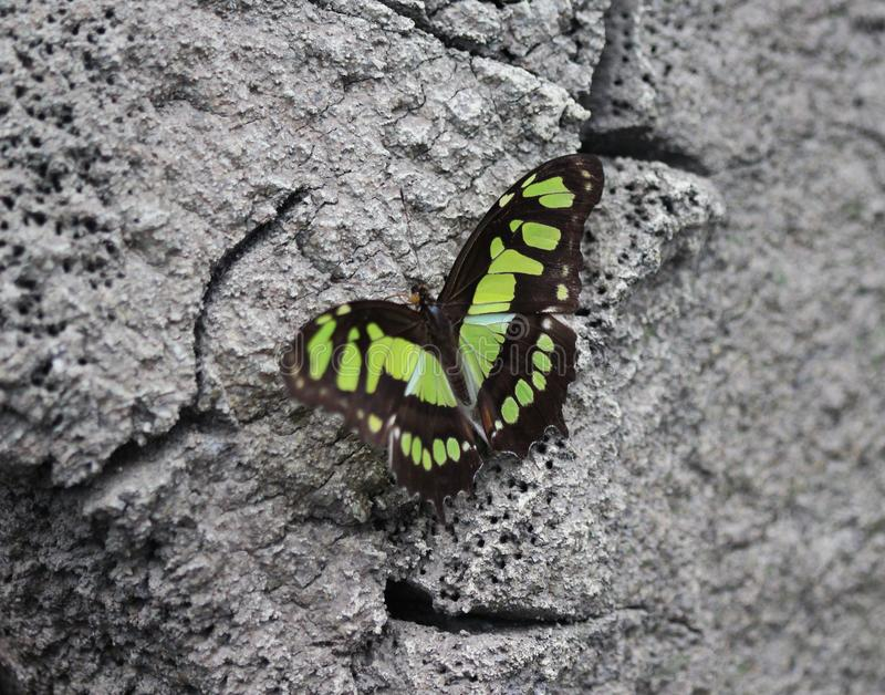 Malachite butterfly, Siproeta stelenes stock images