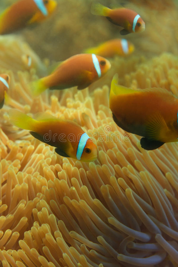 Close-up of Maldivian clownfishes. Swimming near the anemones stock image