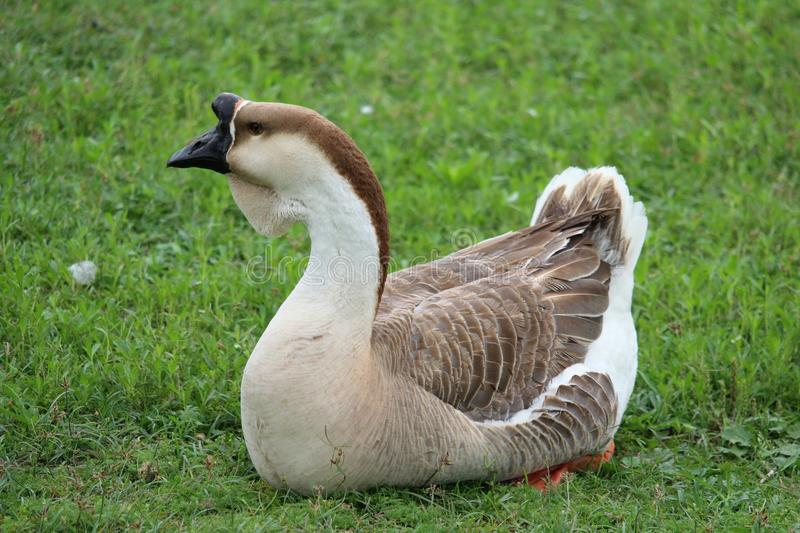 A Close up of a male African Gray Goose resting in the grass in a aprk. stock photos