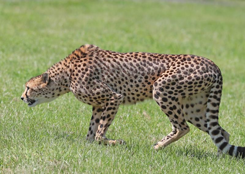 Close up of a male Cheetah on the prowl royalty free stock photos