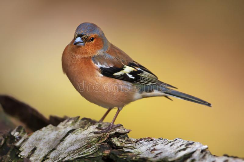 Close-up of a male Common Chaffinch perching on a tree trunk, Scotland, UK royalty free stock photo