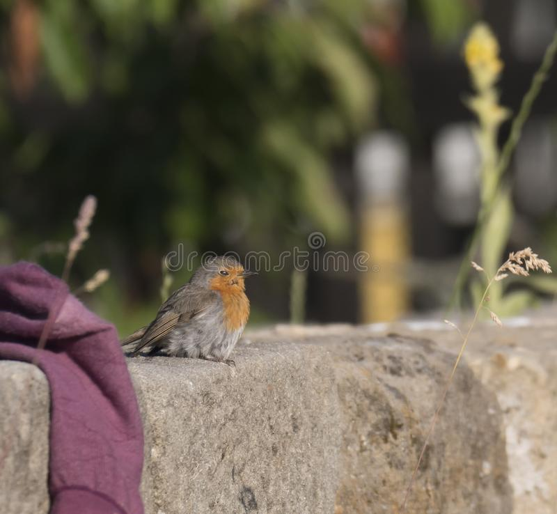 Close up male European robin Erithacus rubecula sits on the sandstone wall robin redbreast is a small insectivorous. Passerine bird, member of the thrush family royalty free stock photo
