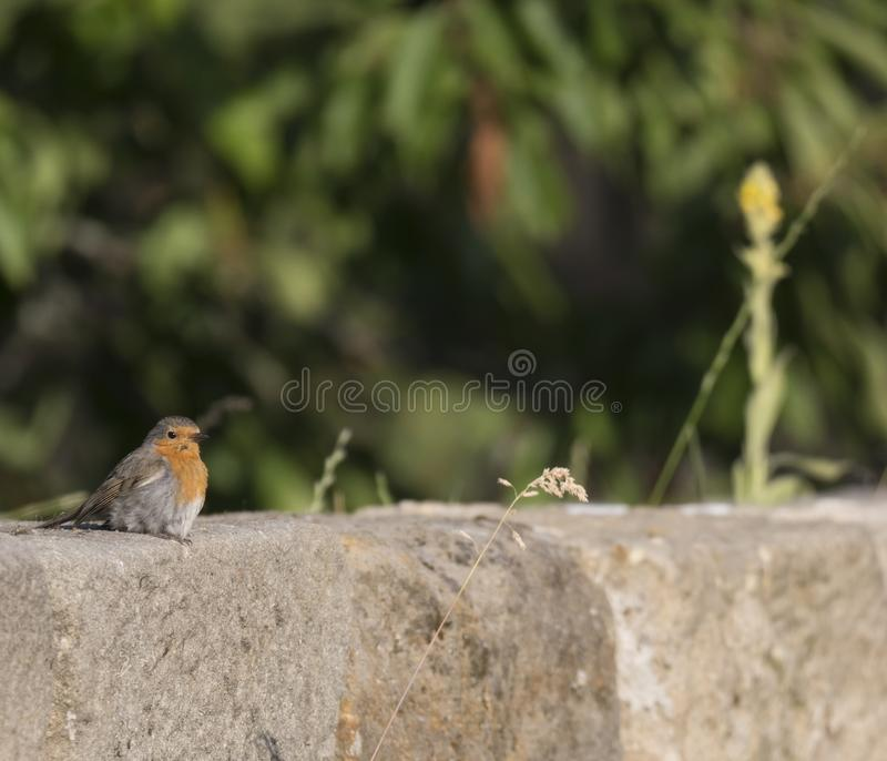 Close up male European robin Erithacus rubecula sits on the sandstone wall robin redbreast is a small insectivorous. Passerine bird, member of the thrush family royalty free stock photography