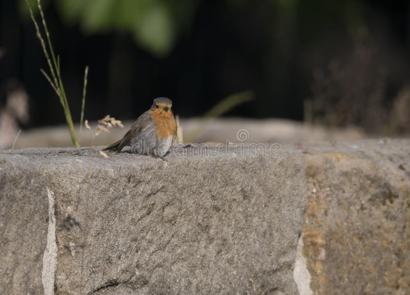 Close up male European robin Erithacus rubecula sits on the sandstone wall robin redbreast is a small insectivorous. Passerine bird, member of the thrush family stock photography