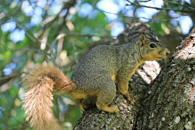 A close up of a male fox squirrel on the limb of a large oak tree. stock photos