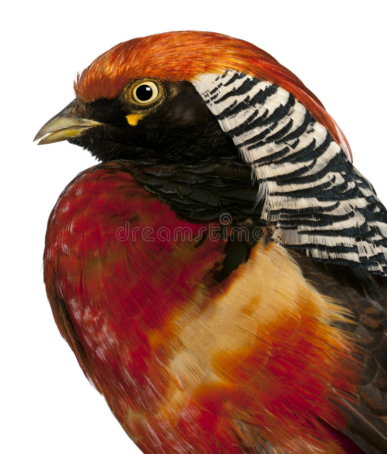 Download Close Up Of Male Golden Pheasant Stock Photo - Image: 24708920