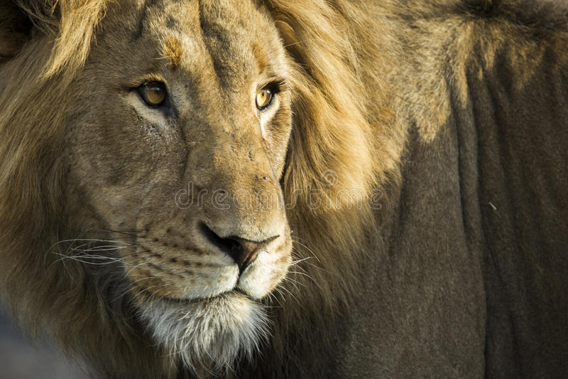 Close up Male Lion stock images