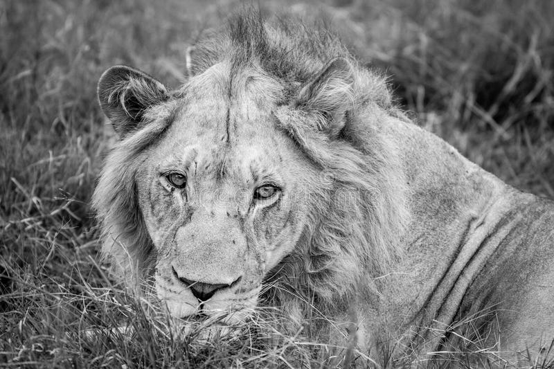 Close up of the head of a male Lion. Close up of a male Lion in black and white in the Okavango Delta, Botswana stock images