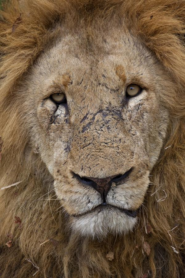 Male Lion face portrait full frame. stock photos