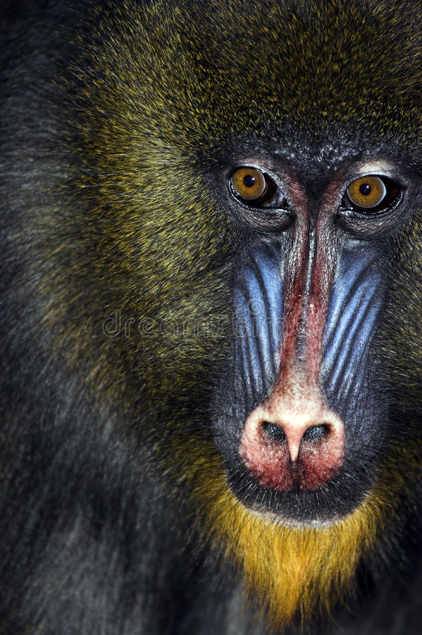 Download Close up of male Mandrill stock image. Image of jungle - 1418971