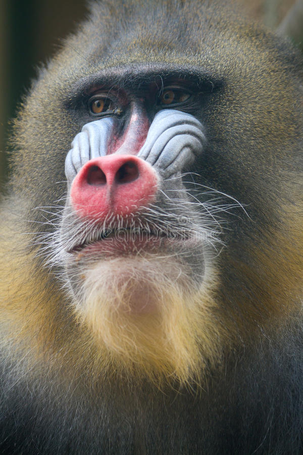 Close up of male Mandrill. Se up of Alpha male Mandrill stock image