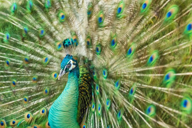 Close up male peacock with fully unfolded feathers of his tail royalty free stock images
