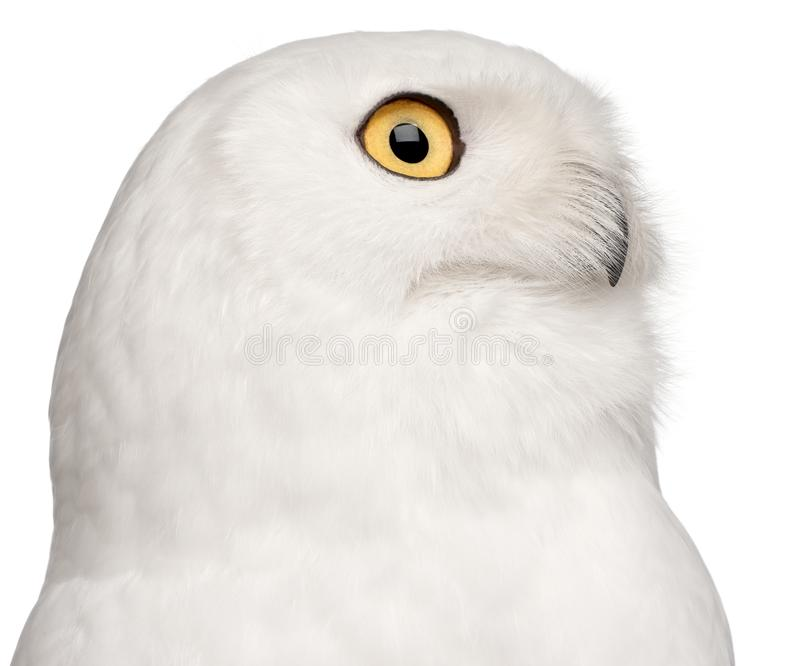 Close-up of Male Snowy Owl, Bubo scandiacus, 8 years old royalty free stock photography