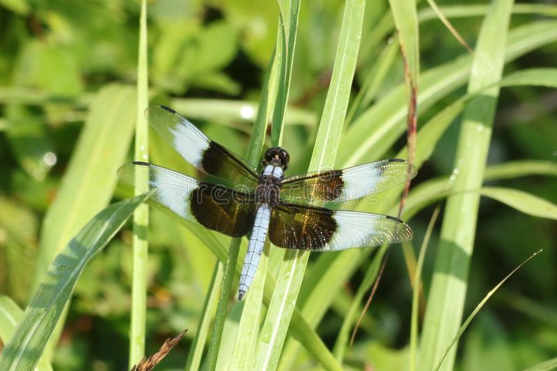 Male Widow Skimmer Dragonfly on Blade of Green Grass. Close-up of a a male widow skimmer dragonfly, with sparkling wings, resting on a green blade of grass, with stock photo