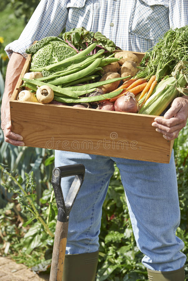 Close Up Of Man On Allotment With Box Of Home Grown Vegetables. Close Up Of Man On Allotment Holding Box Of Home Grown Vegetables royalty free stock image
