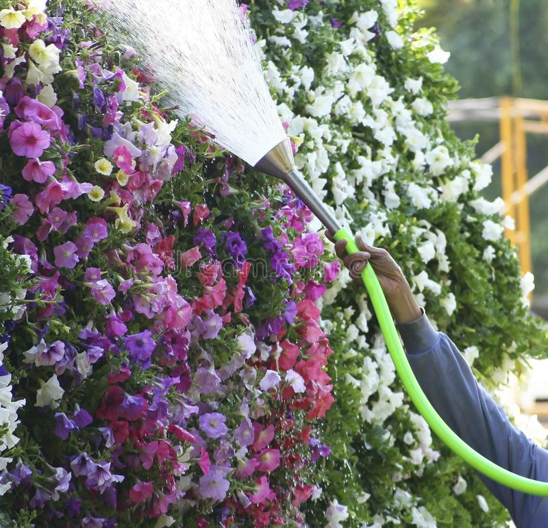 Man watering the flowers at garden stock photo