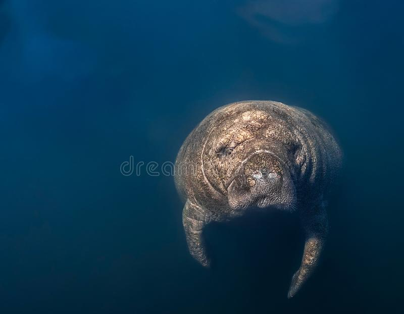 Close-up Manatee Headshot. This curious old manatee was checking out his reflection in my camera`s dome. During the winter, Manatees gather near the warm fresh stock images