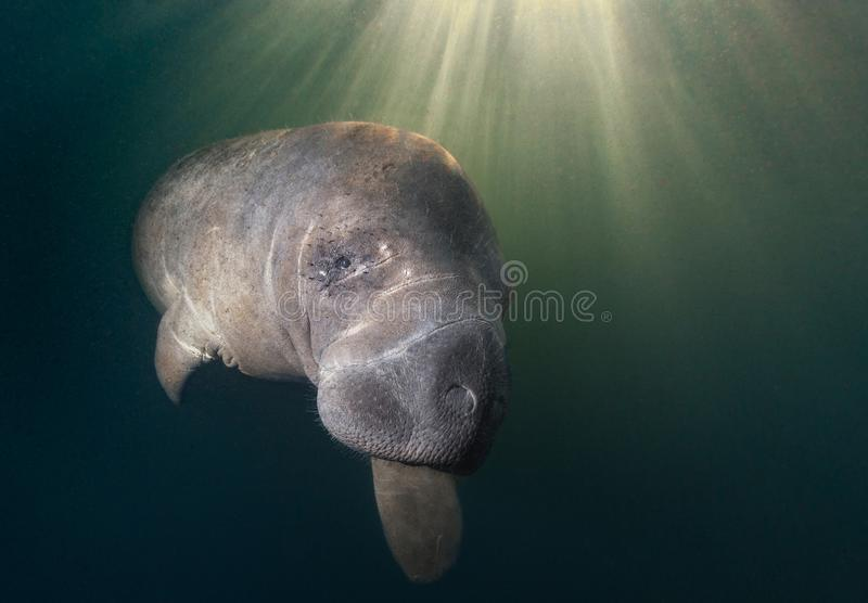 Close up of Manatee and sunburst. This young manatee was curious about the underwater photographer. This photo caught her illuminated by the early morning royalty free stock photo