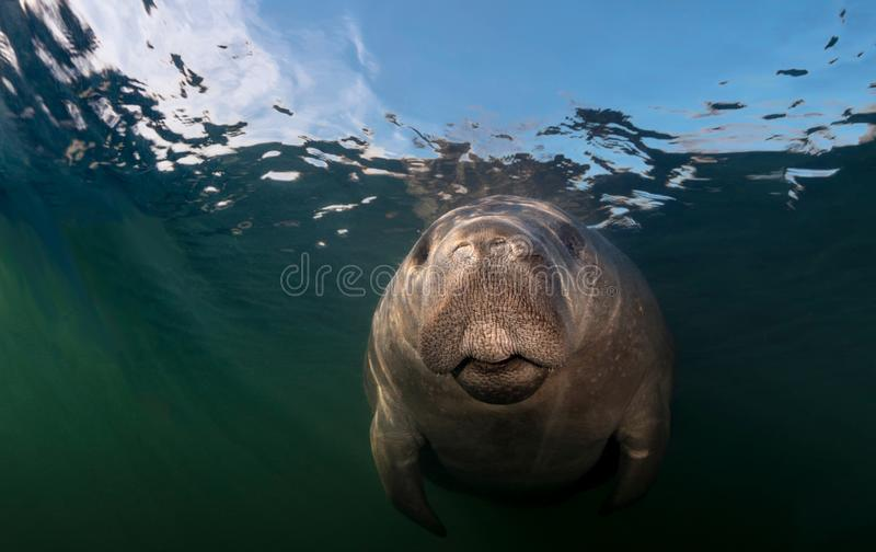 Close-up of Manatee Underwater. This old curious manatee was fascinated by his reflection in my camera dome. Photographed on a chilly Florida morning near royalty free stock photos